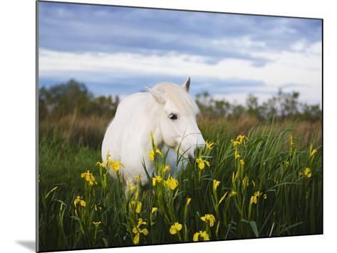 Camargue horse grazing on yellow iris-Theo Allofs-Mounted Photographic Print