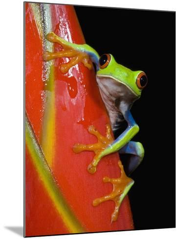Red-eyed Tree Frog-Kevin Schafer-Mounted Photographic Print