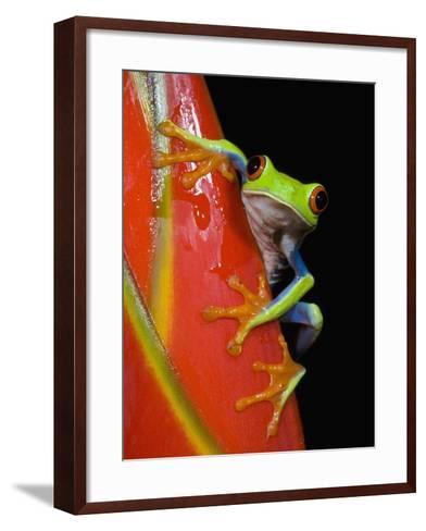 Red-eyed Tree Frog-Kevin Schafer-Framed Art Print