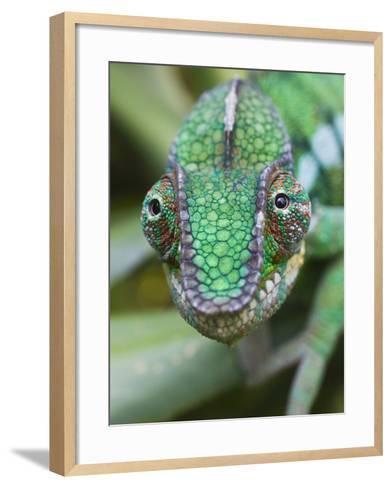 Panther Chameleon-Keren Su-Framed Art Print