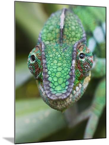 Panther Chameleon-Keren Su-Mounted Photographic Print