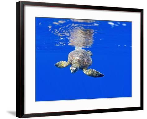 Underwater View of Green Sea Turtle-Paul Souders-Framed Art Print