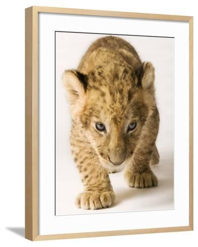Lion Cub-Martin Harvey-Framed Art Print