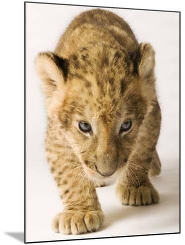 Lion Cub-Martin Harvey-Mounted Photographic Print