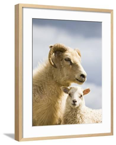 Adult Icelandic Sheep with Lamb-Frank Lukasseck-Framed Art Print