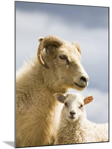 Adult Icelandic Sheep with Lamb-Frank Lukasseck-Mounted Photographic Print
