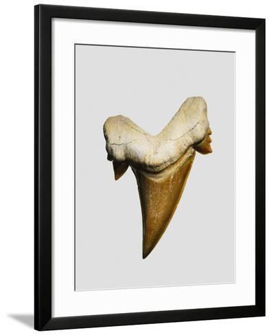 Fossil mackerel shark tooth--Framed Art Print