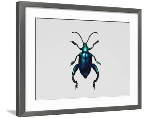 Frog-Legged Leaf Beetles--Framed Art Print