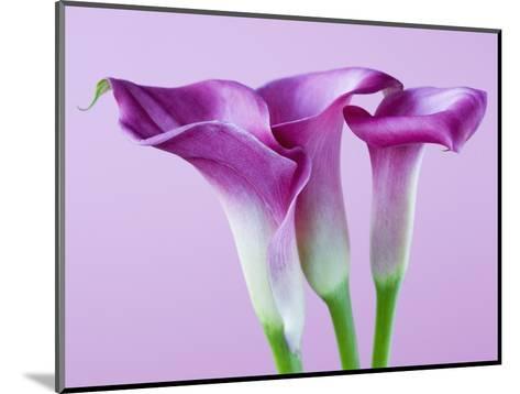 Purple Calla Lilies-Clive Nichols-Mounted Photographic Print