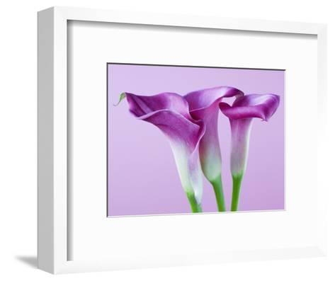 Purple Calla Lilies-Clive Nichols-Framed Art Print