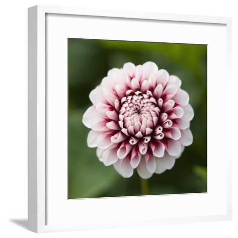 Pink Dahlia Tip Toe-Clive Nichols-Framed Art Print