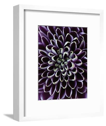Close-up of Chrysanthemum Flower-Clive Nichols-Framed Art Print