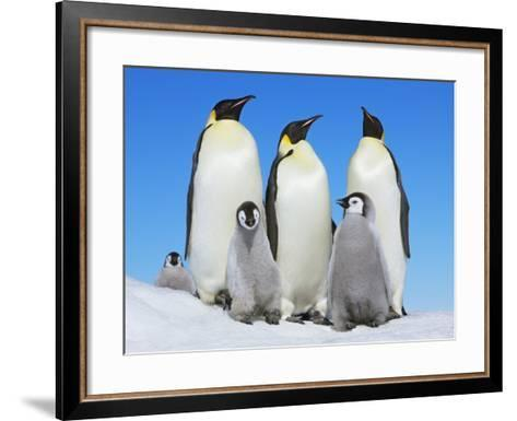 Emperor penguin with group with chicks-Frank Krahmer-Framed Art Print