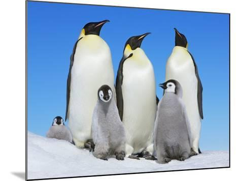 Emperor penguin with group with chicks-Frank Krahmer-Mounted Photographic Print