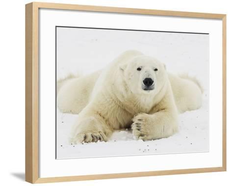 Polar bear lying in snow-John Conrad-Framed Art Print