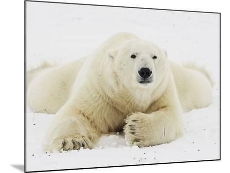 Polar bear lying in snow-John Conrad-Mounted Photographic Print