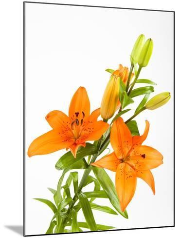 Orange lilies-Frank Lukasseck-Mounted Photographic Print