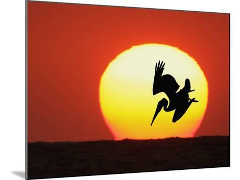 Brown Pelican Diving in Front of Setting Sun-Arthur Morris-Mounted Photographic Print