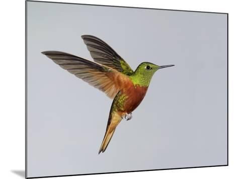 Chestnut-breasted Coronet in Flight-Arthur Morris-Mounted Photographic Print