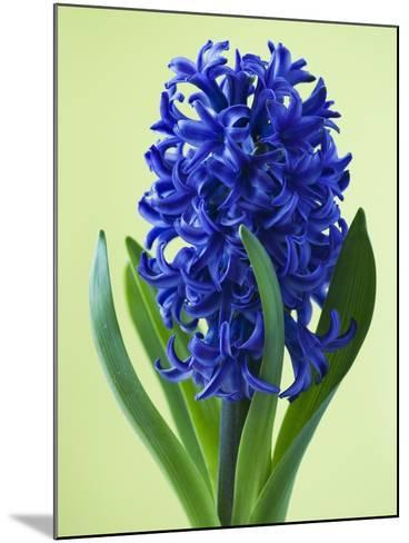 Blue Star hyacinth-Clive Nichols-Mounted Photographic Print