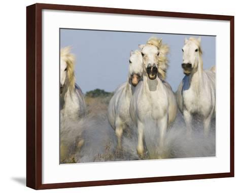 Camargue horses running in marsh-Theo Allofs-Framed Art Print