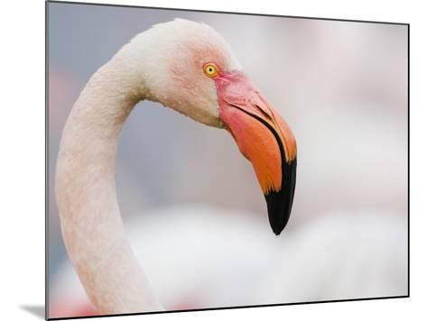 Greater Flamingo-Theo Allofs-Mounted Photographic Print