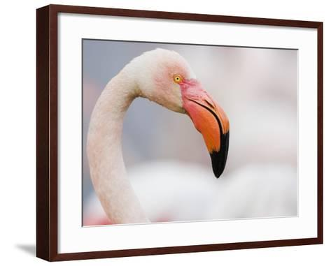 Greater Flamingo-Theo Allofs-Framed Art Print