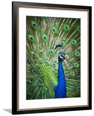 Screaming peacock-Grafton Smith-Framed Art Print
