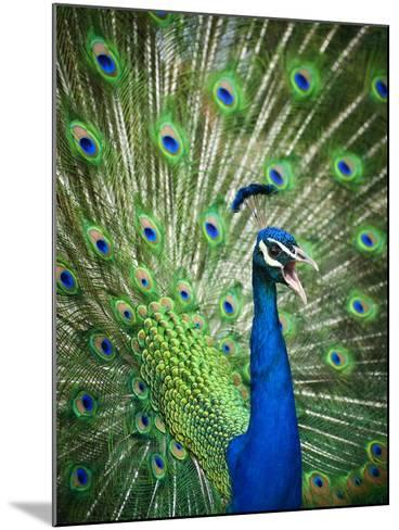 Screaming peacock-Grafton Smith-Mounted Photographic Print