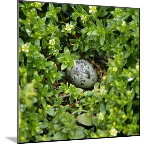 Arctic tern egg in nest--Mounted Photographic Print