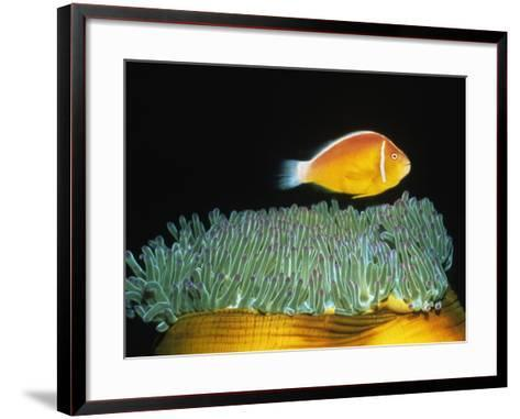 Pink Anemonefish hovers over Magnificent Sea Anemone-Hal Beral-Framed Art Print