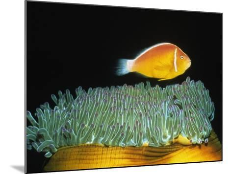 Pink Anemonefish hovers over Magnificent Sea Anemone-Hal Beral-Mounted Photographic Print