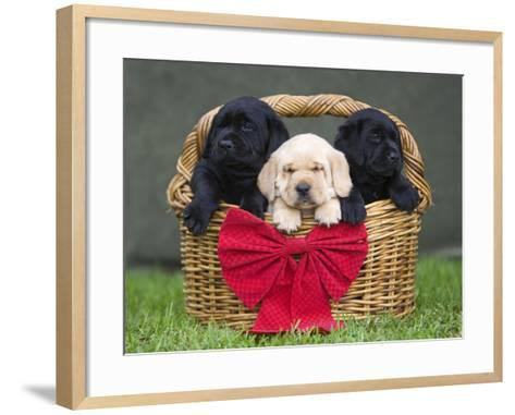 Black and yellow labrador retriever puppies in basket with red bow-Ron Dahlquist-Framed Art Print