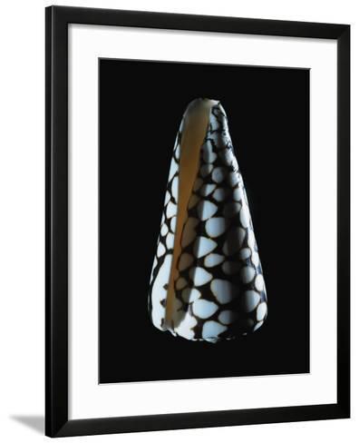 Cone Shell--Framed Art Print