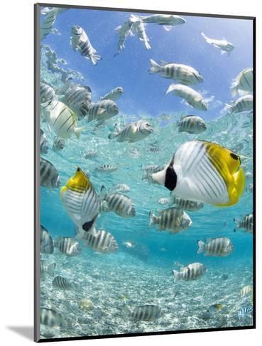 Tropical Fish in Bora-Bora Lagoon-Michele Westmorland-Mounted Photographic Print