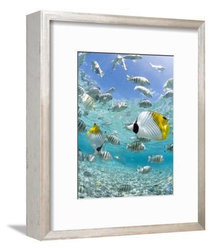 Tropical Fish in Bora-Bora Lagoon-Michele Westmorland-Framed Art Print