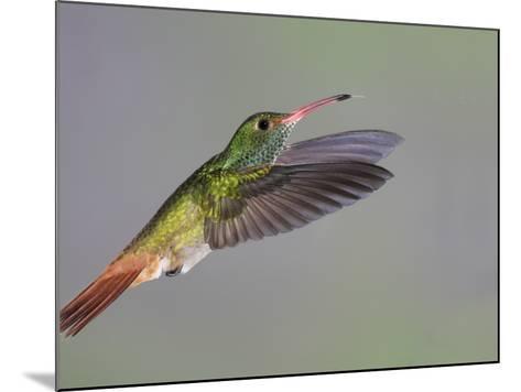 Rufous-tailed Hummingbird-Arthur Morris-Mounted Photographic Print