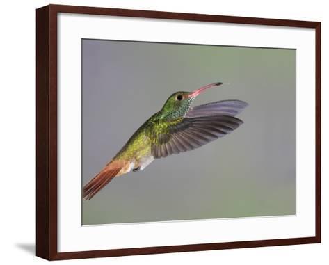 Rufous-tailed Hummingbird-Arthur Morris-Framed Art Print