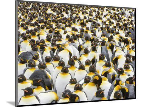 Adult King Penguins on South Georgia Island-John Eastcott & Yva Momatiuk-Mounted Photographic Print