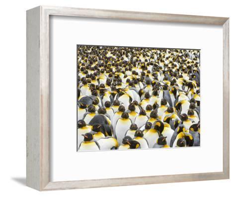 Adult King Penguins on South Georgia Island-John Eastcott & Yva Momatiuk-Framed Art Print