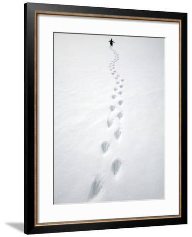 Gentoo Penguin Walking and Leaving Footprints in Snow-John Eastcott & Yva Momatiuk-Framed Art Print