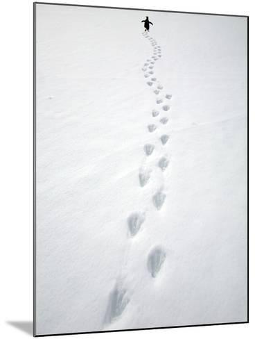Gentoo Penguin Walking and Leaving Footprints in Snow-John Eastcott & Yva Momatiuk-Mounted Photographic Print