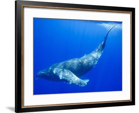 Humpback Whale Underwater-Paul Souders-Framed Art Print