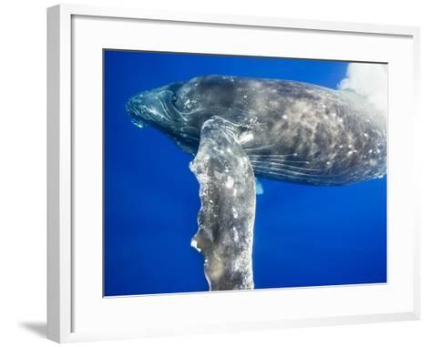 Humpback Whale Diving Near Surface-Paul Souders-Framed Art Print