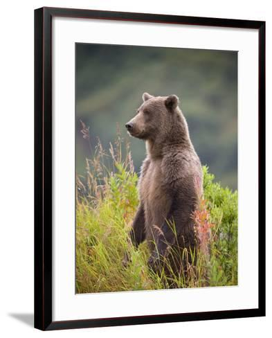 Brown Bear Standing Upright in Tall Grass at Kinak Bay-Paul Souders-Framed Art Print