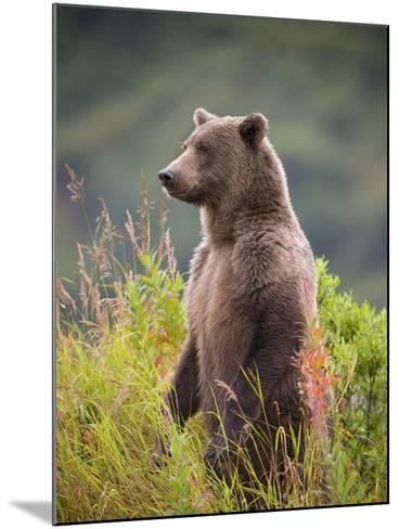 Brown Bear Standing Upright in Tall Grass at Kinak Bay-Paul Souders-Mounted Photographic Print