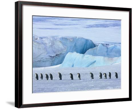 Emperor penguin group with iceberg-Frank Krahmer-Framed Art Print