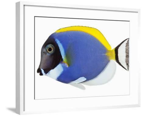 Powder blue tang-Martin Harvey-Framed Art Print