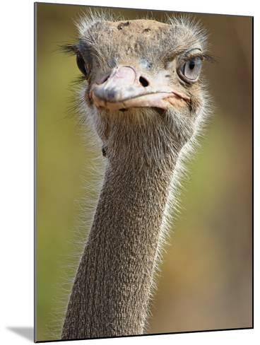 Common Ostrich-William Manning-Mounted Photographic Print