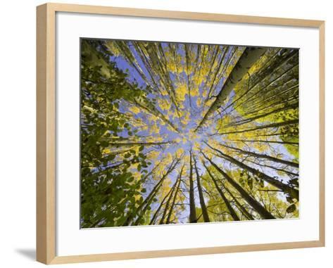 Golden Aspen Trees Seen From Below-John Eastcott & Yva Momatiuk-Framed Art Print